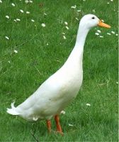 There's a good reason why one particular duck from Hostingly Farm in Dewsbury, West Yorkshire, was given the name 'Lucky'...