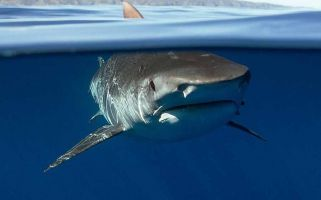 Hammerheads, tigers and white sharks have all declined by more than 74%.