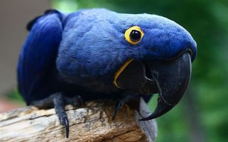 The blue macaw parrot that inspired the film Rio is now extinct in the wild.