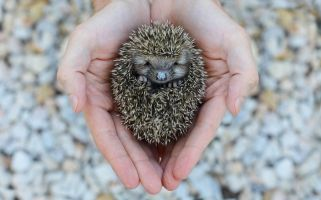 People are getting pet hedgehogs because of Instagram.