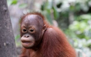 For this week's feature Matilda Martin returns to the desperate plight of the Orangutan.