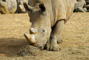 With such a dramatic increase in rhino poaching occuring in recent years, a solution must be found.