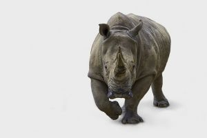 Will legalising the trade of rhino horns help decrease poaching, or make the issue far, far worse?