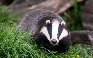 Does a badger under your car count as a legitimate excuse?