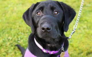 Jingles, a bubbly four-month-old black Labrador, will undergo intensive training on the wards of Magilligan in Co Londonderry.
